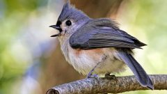 Tutfted Titmouse by Ryan Morrisey via Birdshare