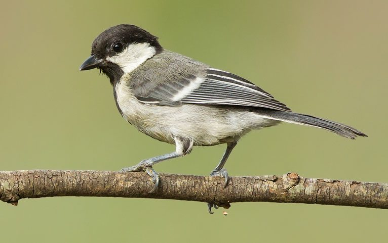 Cinereous Tit by Aravind V via Birdshare
