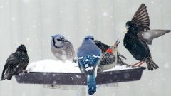 Feeder birds by Carolyn Lehrke via Birdshare. European Starling, red-bellied woodpecker, blue jay