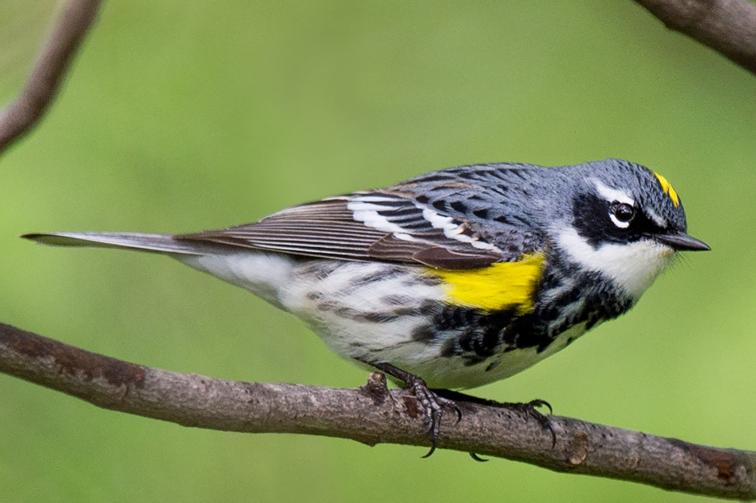 Yellow-rumped Warbler by Ray Hennessy