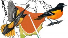 Baltimore Oriole migration illustration by Virginia Greene