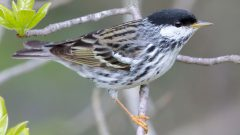 BlackpollWarbler by tfells via Birdshare