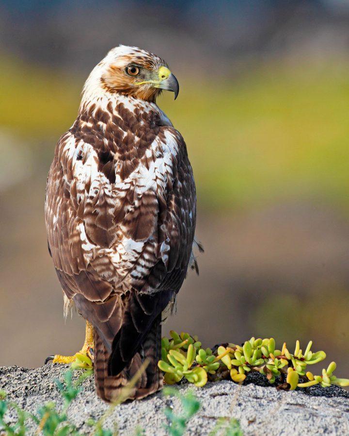 Galapagos Hawk by Gary Kramer
