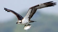 Osprey flying with fish by Melissa Groo