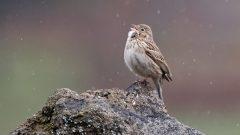 Vesper Sparrow by Frank Lospalluto