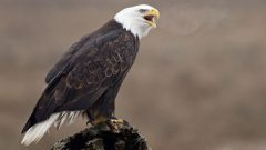 Photo by Bald Eagle by Simon Richards via Birdshare.