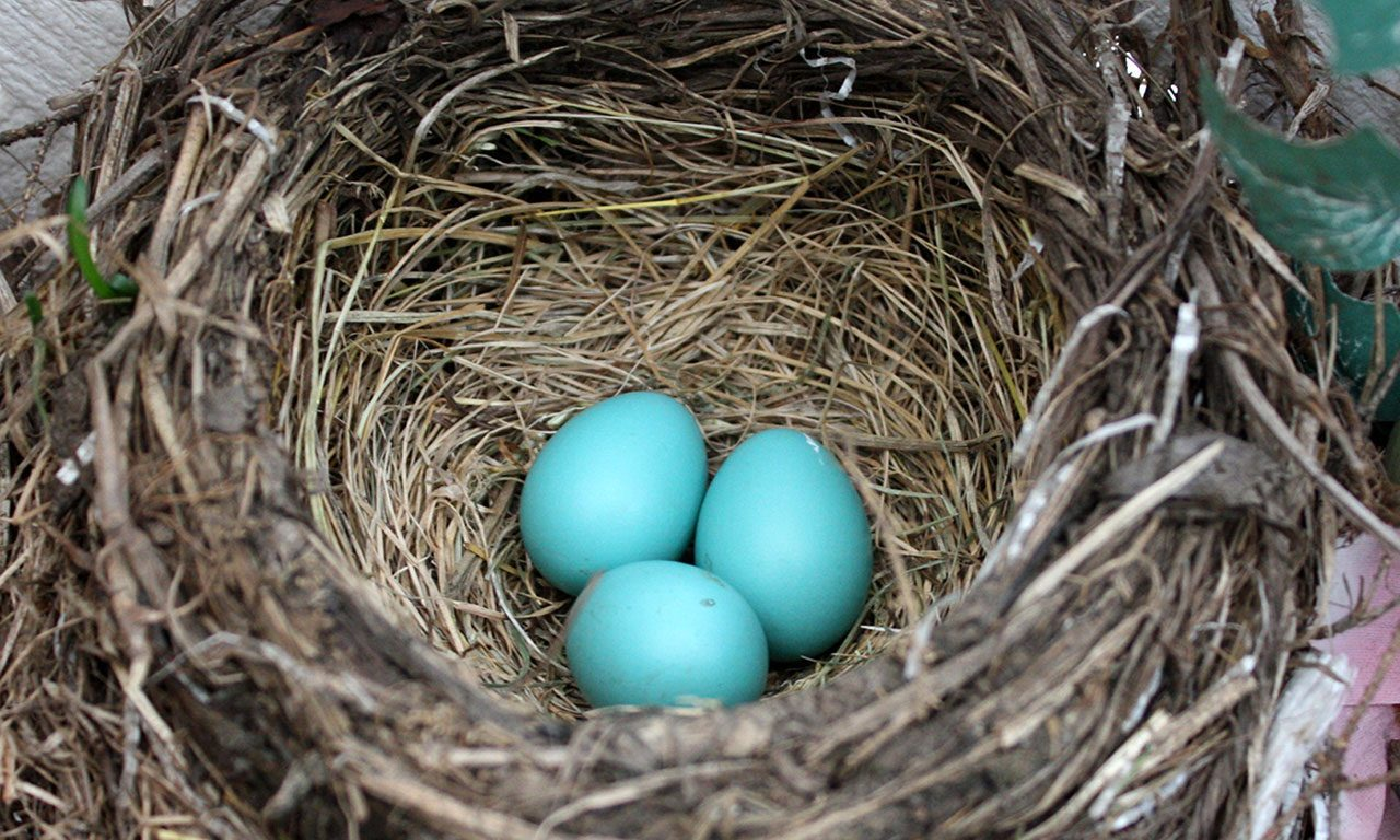 Robin nest by Steve Fisher via Birdshare