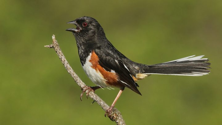 Eastern Towhee adult by Ryan Schain
