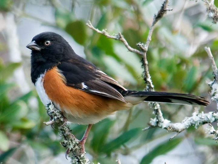 Eastern Towhee, immature, Florida form