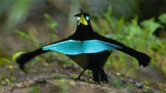 Superb Bird-of-Paradise Lophorina superba © Tim Laman/Macaulay Library 62128001
