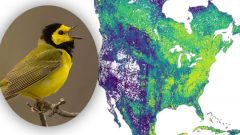 Migrants map, Hooded Warbler by Corey Hayes
