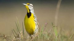 Eastern Meadowlark by Ray Hennessy via Birdshare.