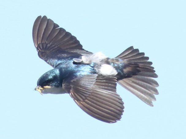 Tree Swallow wearing data logger by Andrew Dreelin