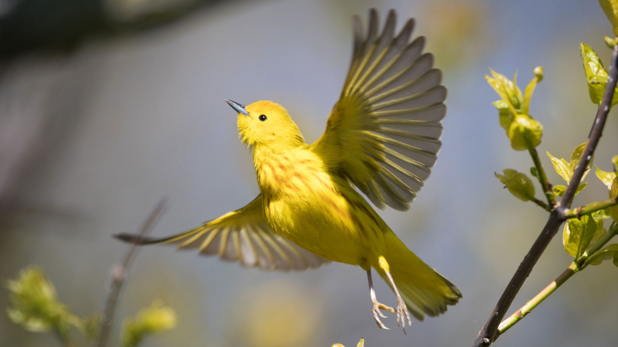 tiny warbler leaves south america turns up outside the