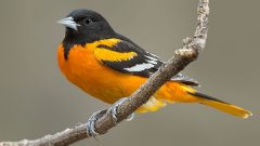 Baltimore Oriole by David Speiser