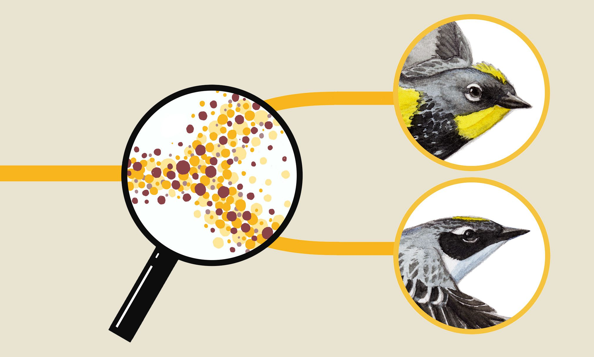 Speciation in Action, Illustration by Virginia Greene, Bartels Science Illustration Intern