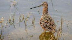 eBird Science: Prioritizing Dynamic Conservation for Migratory Shorebirds in California