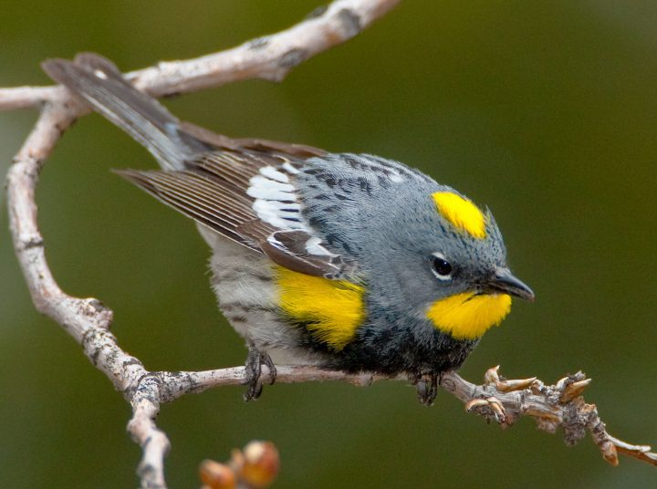 """Audubon's"" Yellow-rumped Warbler by Marie Read"