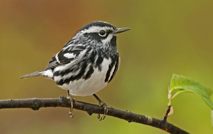 Black-and-white Warbler by Ryan Schain /Macaulay Library