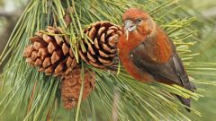 Red Crossbill by Ryan Schain/Macaulay Library