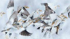 Snow Buntings by Earl Reinink