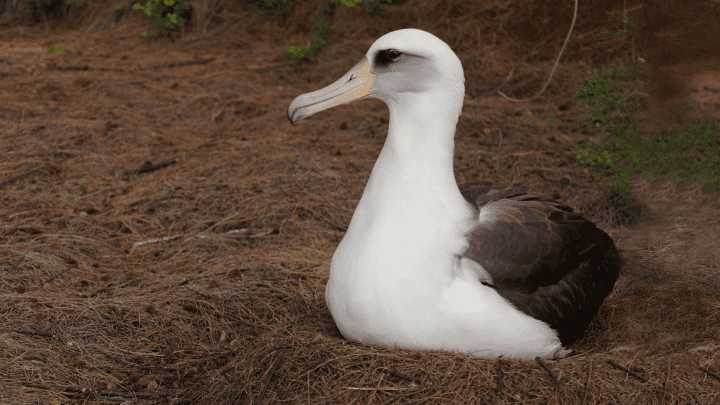 Laysan Albatross by Hugh Powell.
