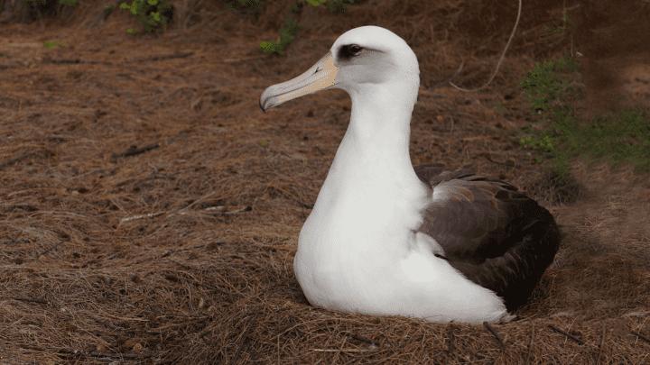 Laysan Albatross by Hugh Powell.