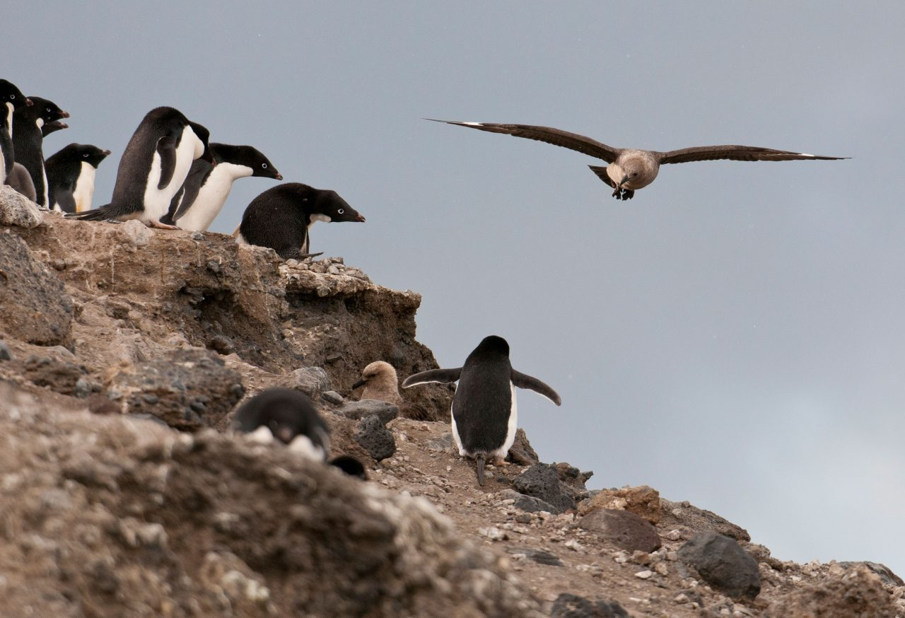 Skun flies over penguin colony Photo by Chris Linder.