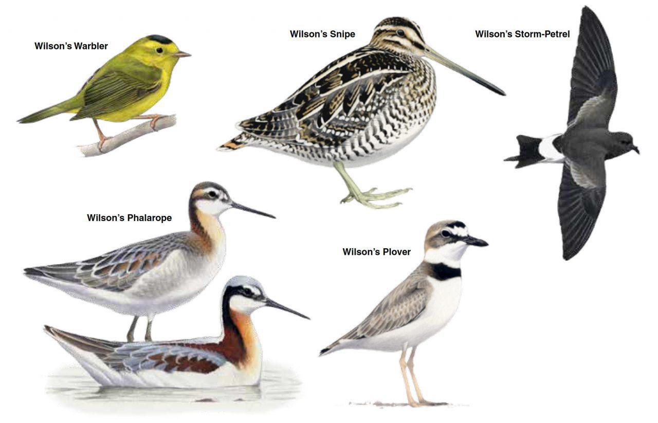 five species named for Alexander Wilson