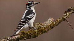 Hairy Woodpecker, by Mike Bons