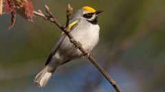 Golden-winged Warbler by Ray Hennessy