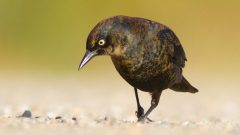 Rusty Blackbird by Sparky Stensaas