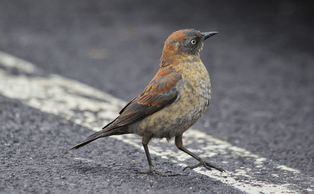 Rusty Blackbird by Eric Heisey/ ML52232011
