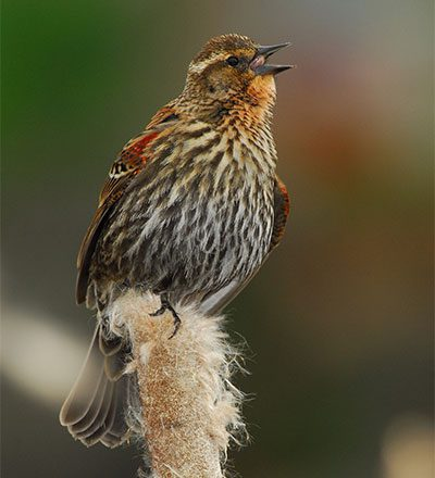 A female Red-winged Blackbird sings. Photo by Todd and Conni Katke via Birdshare.