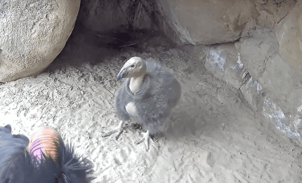 A wild California condor chick in its nesting cavity at Hutton
