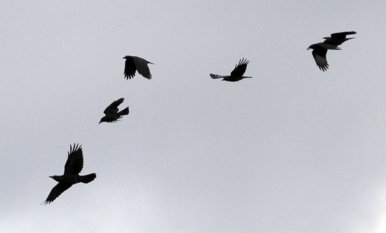 Crows mobbing a Common Raven (far left). Photo by Kevin McGowan.