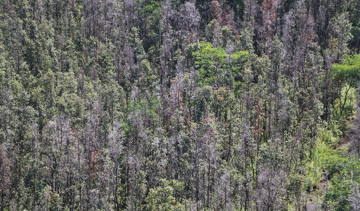 An introduced tree disease—called Rapid Ohia Death (left)—is rapidly spreading across the big island of Hawaii, putting even more pressure on declining Iiwi populations that were already beset by mosquito-borne diseases. Photos courtesy of Hawaii Department of Lands and Natural Resources.