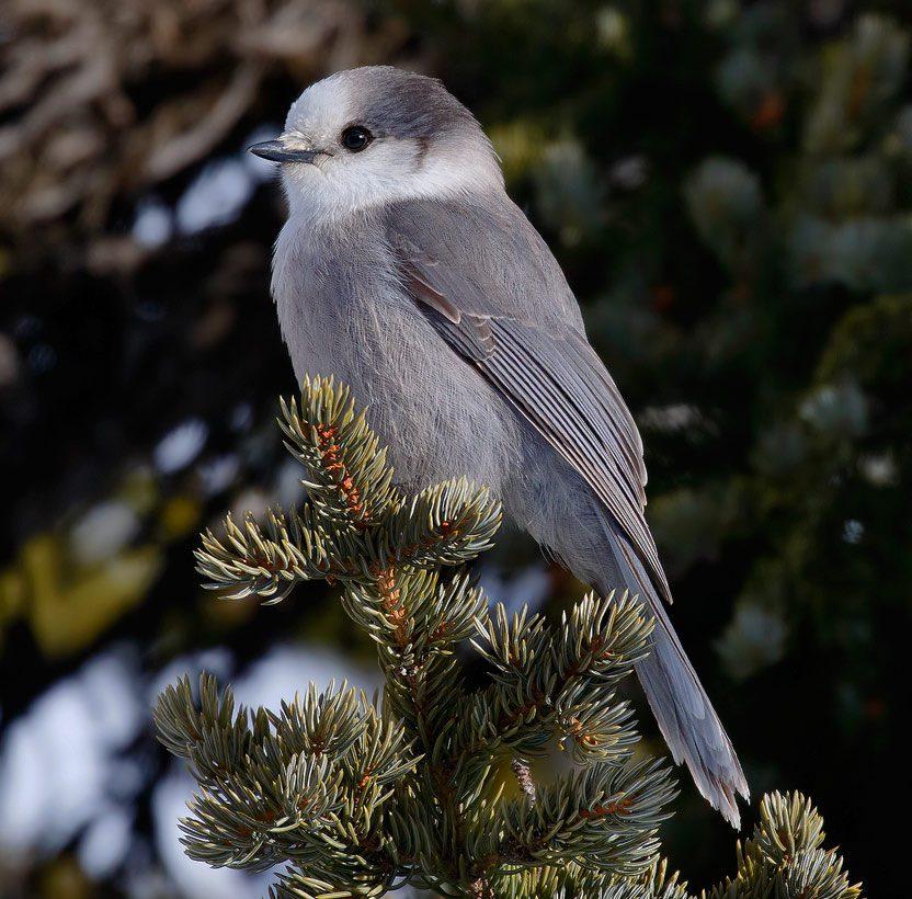 Canada Jay by Tim Harding via Birdshare.
