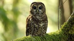 Northern Spotted Owl by Kathy Adams Clark