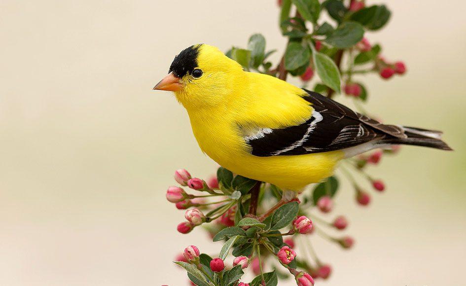 American Goldfinch by Linda Petersen via Birdshare.