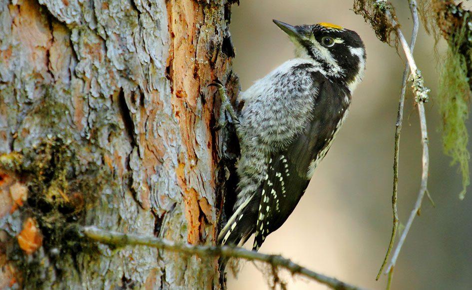 American Three-toed Woodpecker by Tim J. Hopwood via Birdshare.