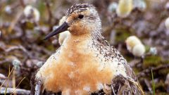 Mapping Endangered Red Knots' Remote Breeding Habitat Will Help Conservation Efforts