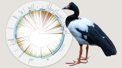 Bird Evolution Graphic Source: Gavin Thomas, University of Sheffield; Infographic: Jillian Ditner. Magpie Goose by Sara Young/Macaulay Library