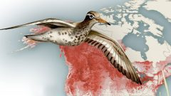 Spotted Sandpiper on migration. Illustration by Bartels Science Illustrator Megan Bishop.