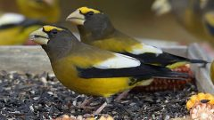 Evening Grosbeaks at a feeder by Josée Rousseau/Macaulay Library
