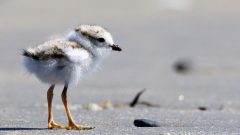 Piping Plover by Gates Dupont/Macaulay Library