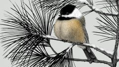 Chickadee in winter, illustration by Meghan Bishop