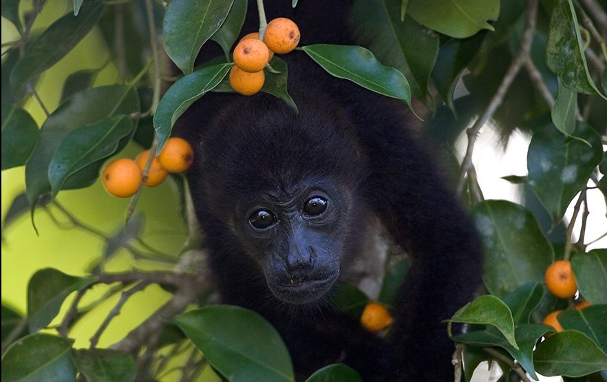 mantled howler monkey by Roy Toft