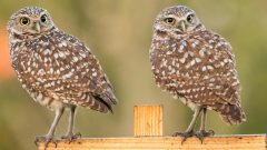 Burrowing Owls, by Brad Imhoff, ML126826061