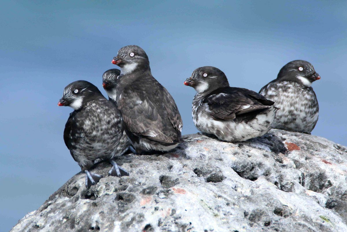 Least Auklets on nearby St Paul